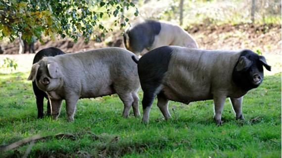 Cercel, la marca sarriana de cerdo celta 100%